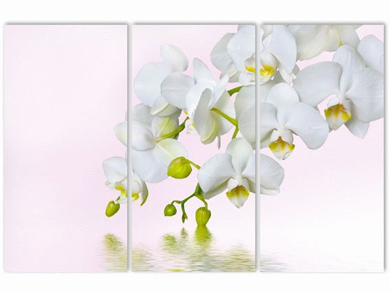 Классическая орхидея